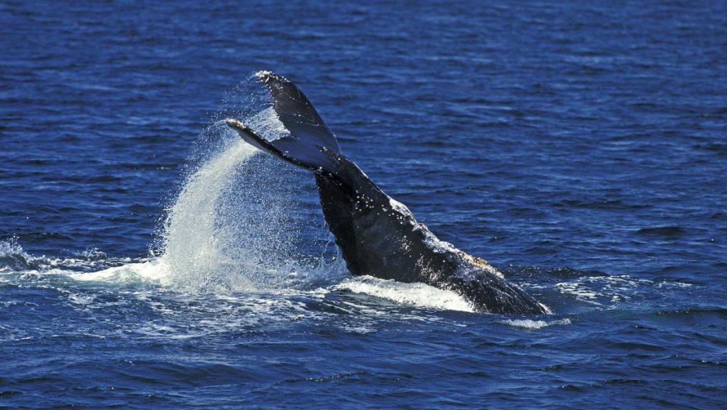 Baleine en Nouvelle Calédonie