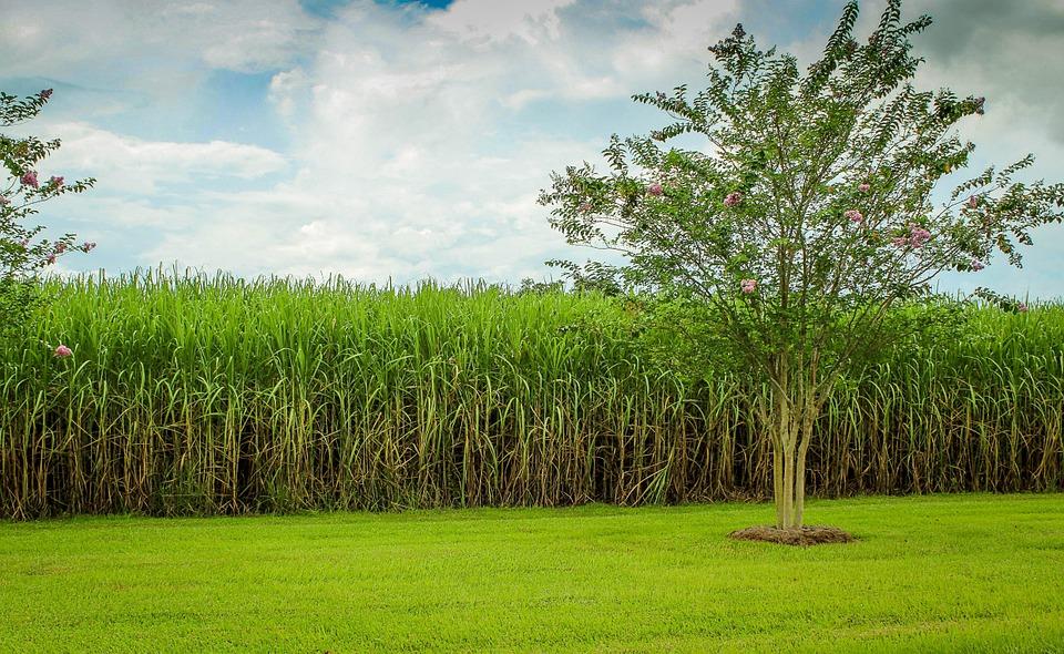 Plantation canne à sucre